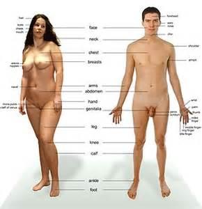 Human body  The Full Wiki