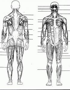 blank muscles diagram to label - Google Search | Human ...