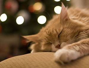 Are Christmas Trees Poisonous to Cats and Dogs