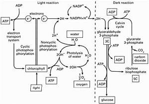 50 Photosynthesis Diagrams Worksheet Answers In 2020  With
