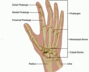 Human Hand  U2014 Anatomy References For Artists