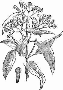 Clove Plant And Seed