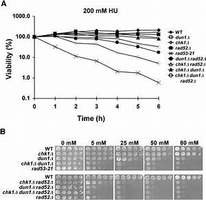 Hu Sensitivity Of The Chk1 Dun1 Cells Is Reversible   A