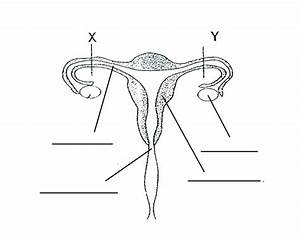 30 Blank Female Reproductive System Diagram