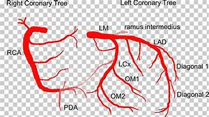 Rca Anatomy