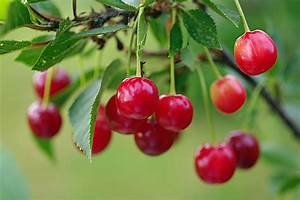 Summer Red Cherry Wallpapers - 1920x1277 - 452813