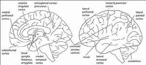 A Schematic Outline Of The Numerous Brain Areas And