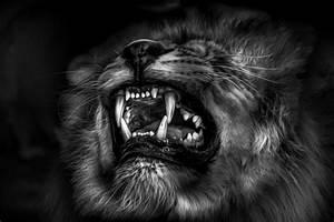 photos fond d ecran lion noir et blanc page 4 chainimage With tableaux noirs et blancs