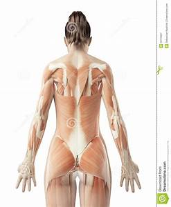 The Female U00b4s Back Muscles Stock Illustration  Image Of