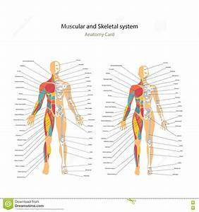 Female Muscular System Anatomy Stock Photography