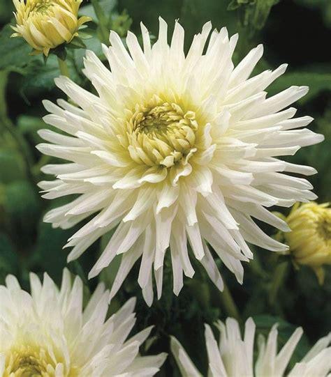 Bulbi de Dalie My Love, alba, floare de cactus - Seminteplante.ro