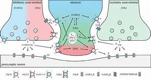 Neurotransmitter Dynamics  The Scheme Illustrates