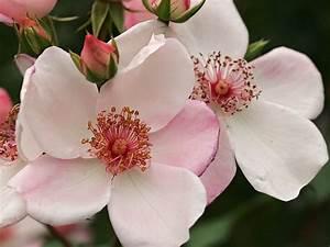 Sweet Pretty Rose : beetrose 39 sweet pretty 39 sch nste rosen expertenwissen ~ A.2002-acura-tl-radio.info Haus und Dekorationen