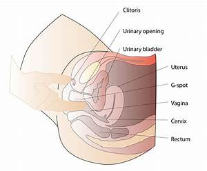 Sexual Anatomy Women