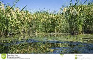 Paddy Fields Full Of Mature Rice Mature Plants  Spain