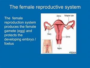 Mare Reproductive System Diagram
