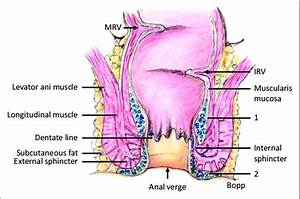 Anatomy Of Rectum  Middle Rectal Fold Of Valve Of Houston