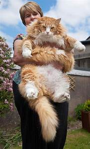 16 maine coon cats that will make your cat look tiny