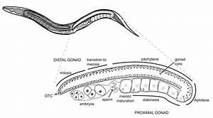 C  Elegans Adult Hermaphrodite Gonad  This Model