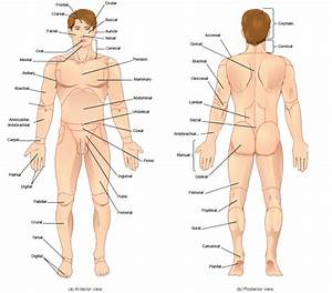 Anatomical Vocabulary