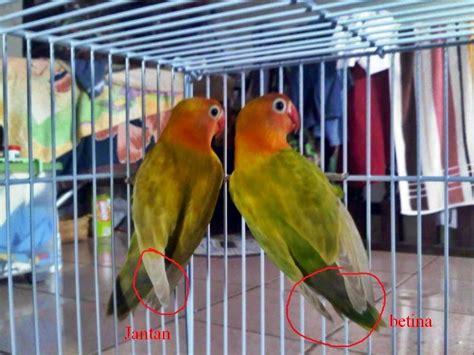 Burung flamboyan ini termasuk burung. Cara Membedakan Lovebird Jantan dan Betina - Ocehan Kenari