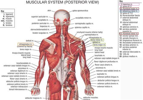 This flow diagram provides an aid to diagnosis of shoulder conditions Human&Animal Anatomy and Physiology Diagrams: Lower Back Anatomy Muscles | Neck and shoulder ...