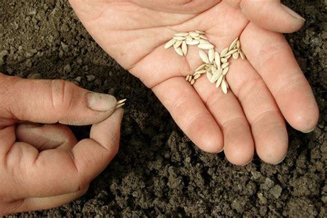 Gurķu audzēšanas gudrības - Tava Klade