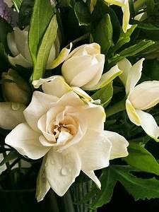 Gardenia Jasminoides Pflege : gardenia jasminoides by matt rosen gartenprodukte ~ A.2002-acura-tl-radio.info Haus und Dekorationen