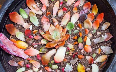 มาขยายพันธุ์ Succulent ต้นไม้สกุล Echeveria (กุหลาบหิน ...