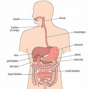 Human Anatomy Diagram: Esophagus Spleen Pancreas Where Is ...