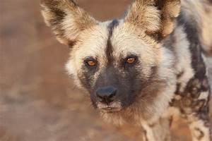 Image - 922884-pc-african-wild-dog-wallpapers.jpg | Animal ...