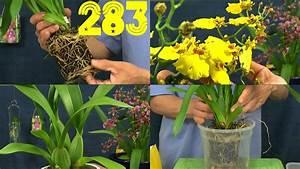 Orchideen Umtopfen Video : orchidee lazio umtopfen orchideen pflege phalaenopsis und ~ Watch28wear.com Haus und Dekorationen