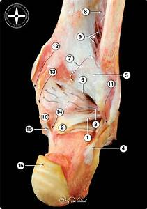 12 Posterior View Of The Osteoarticular Dissection Of The
