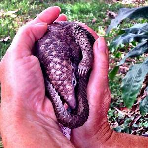 Hand-rearing a black bellied pangolin - Africa Geographic