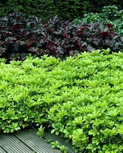 Immergrüne Pflanzen Winterhart : bodendecker immergr n ysander bodendecker vorgarten ~ A.2002-acura-tl-radio.info Haus und Dekorationen