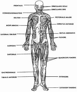 The Muscular System Labeled . The Muscular System Labeled ...