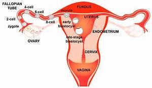 Diagram Female Reproductive System Organs
