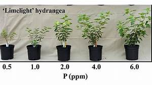 Understanding Phosphorus For Containerized Nursery Crops