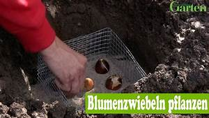 Blumenzwiebeln Pflanzen Frühjahr : blumenzwiebeln pflanzen youtube ~ A.2002-acura-tl-radio.info Haus und Dekorationen