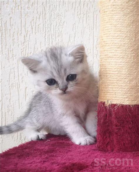 SS.LV Kaķi, kaķēni - Britu īsspalvainais, Cena 350 ...