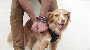How To Correctly Put On A Dog Harness Or Collar