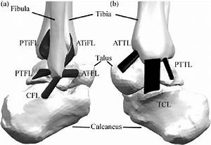 Representation Of Ankle Joint And Its Ligaments   A