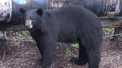 25 HUGE BEARS SHOT COMPILATION - YouTube