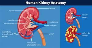 Human Kidney Anatomy Diagram Stock Illustration
