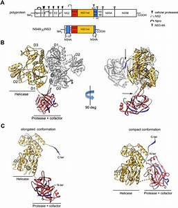 Crystal Structure Of The Csfv Ns3  4a Complex   A