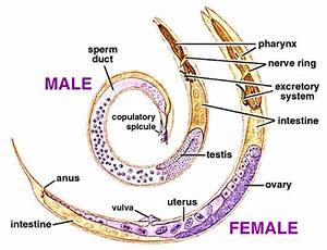 Nematode Anatomy Of Male And Female