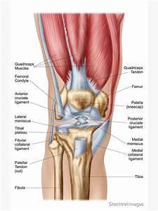 U0026quot Anatomy Of Human Knee Joint  U0026quot  Sticker By Stocktrekimages