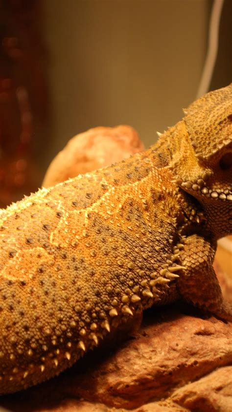 We have a big collection of wallpapers, pictures and photos with bearded dragon. Lizards reptile bearded dragon wallpaper   (20712)