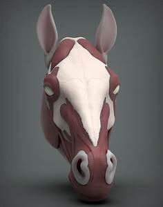 Horse Face Anatomy