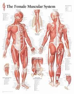 Female Muscular System 1101